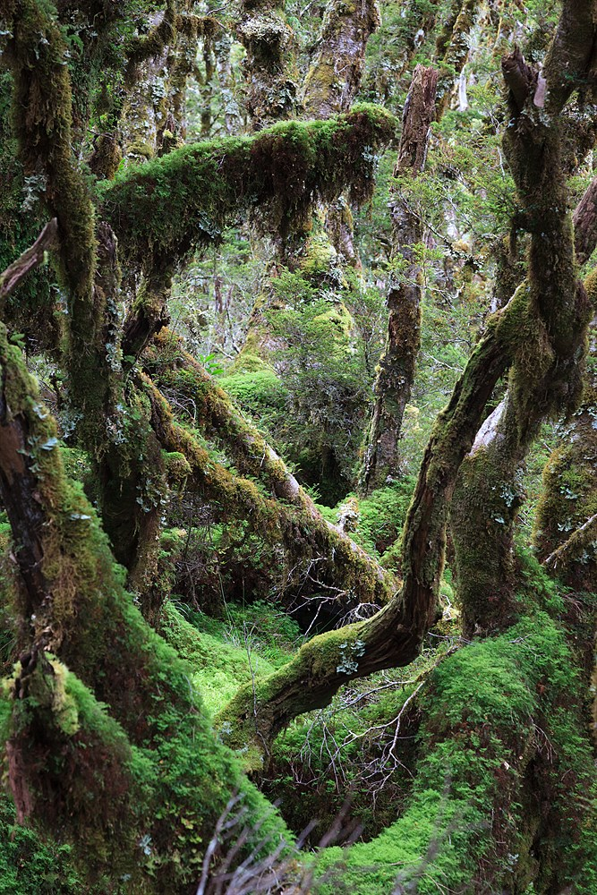 Forest in Fiordland, photo