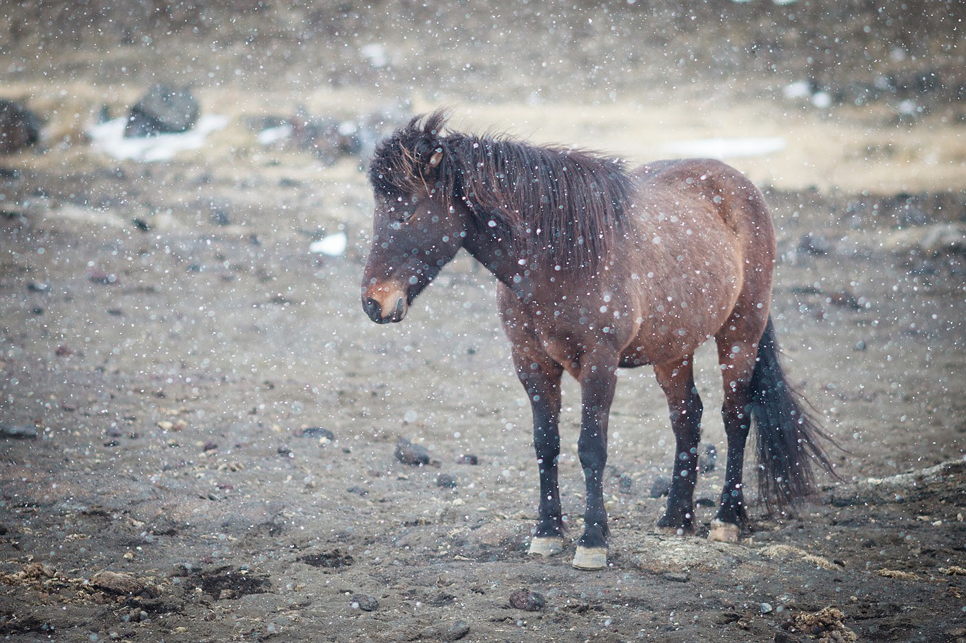 Horse near Mývatn, photo