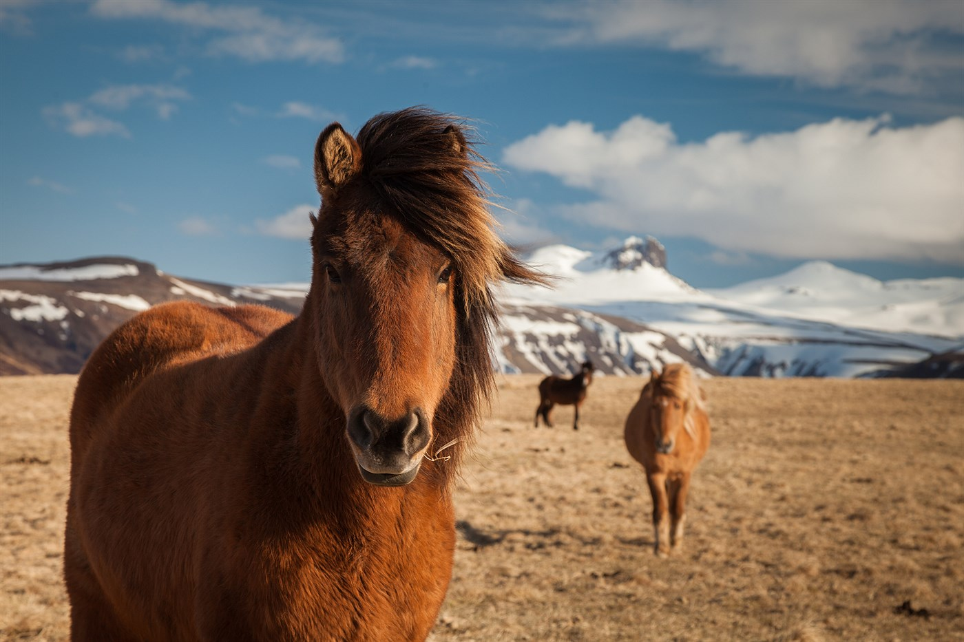 Snaefellsnes Horse, photo