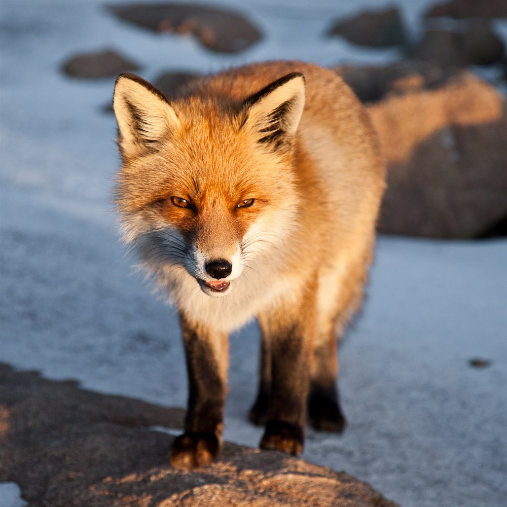 Fox in the High Tatras, photo