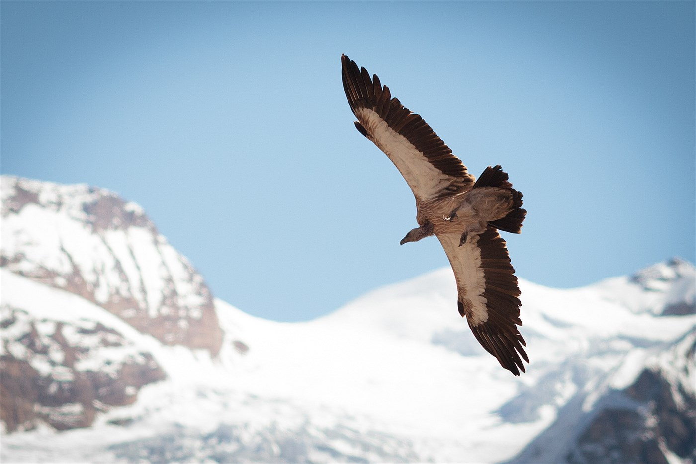 Vulture in Thorong Phedi, photo
