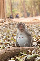 Monkey in Angkor