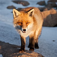 Fox in the High Tatras