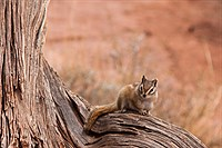 Chipmunk in Utah